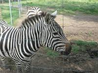 ZEBRA FENCED IN