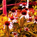 """""""Coneflowers"""" by thelastbohemians"""