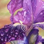 """""""Dew Drop Iris"""" by GarryTurpin"""