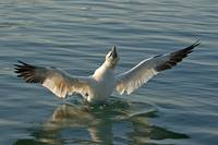 Northen gannet- bathing-sea-RF-ANI202