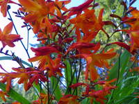 Bright red orange Crocosmia Corona