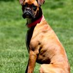 """""""Boxer 1"""" by MNTPhoto"""