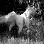 """""""Miniature Horse"""" by MNTPhoto"""