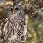 """""""Barred Owl"""" by shutterbugdan"""
