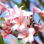 """""""pink plumeria"""" by BrandonFlores"""