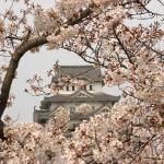 """Himeji Castle Cherry Blossoms"" by fantasticvoyage"