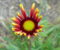 Indian Blanket Flower ready to bloom