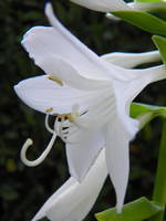 Vibrant White Hosta Flower