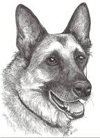 Cody the German Shepherd