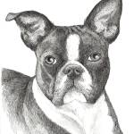 """Hoover the Boston Terrier"" by BThomasStudios"