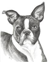 Hoover the Boston Terrier