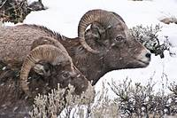 Big Horn Sheep Rams #1
