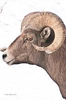 Big Horn Sheep Ram #3