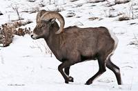 Big Horn Sheep Ram #8
