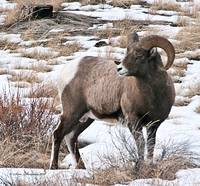 Big Horn Sheep Ram #9