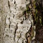 """beech Tree Trunk"" by DavidHornchurch"