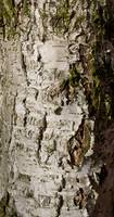 beech Tree Trunk
