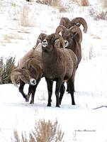 Big Horn Sheep Ram #13