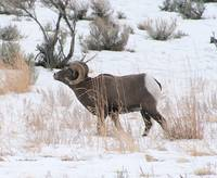 Big Horn Sheep Ram #14