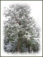 Pine Trees Standing Tall in a Snow Covered Forest
