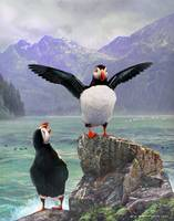 wet foggy morning / atlantic puffins