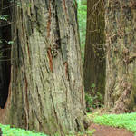 """Redwood Trees print Big California Redwoods"" by BasleeTroutman"