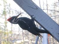 Pileated Woodpecker - Angled