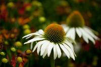 White Swan Coneflowers
