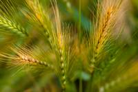 Wonderous Wild Wheat