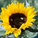 """Sweet yellow bee"" by Aaron-H"