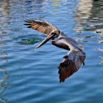 """""""Pelican Surreal"""" by NaturePlusStudios"""