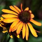 """""""Echinacea"""