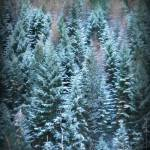 """Pine Forest"" by photosbybritney"