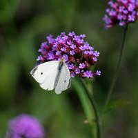 Butterfly  Cabbage White on purple flower