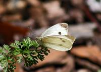 Butterfly  Cabbage White Butterfly with greenery