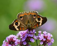 Butterfly   Buckeye with purple flower