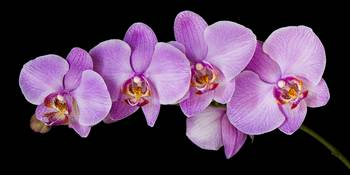 Red Phalaenopsis Orchids