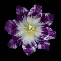 Purple and White Tulip