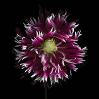 Fringed Purple Dahlia