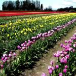 """""""Tulip Field One"""" by gopnw"""
