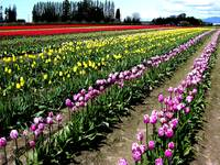 Tulip Field One