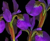 Iris with Poster Edges