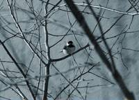 Black capped chickadee sits in a tree