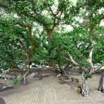 """Lahaina Banyan Tree #6 (1)"" by RobDeCamp"