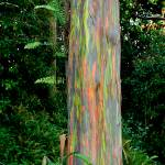 """""""Rainbow Eucalyptus   (RD-462)"""" by RobDeCamp"""