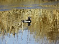 Ring necked Duck Aythya collaris