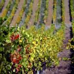 """""""Vineyard"""" by raetucker"""