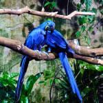 """Blue Parrots"" by raetucker"