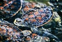 Cayman Islands Baby Green Turtles
