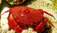 Red Sea, Red Crab